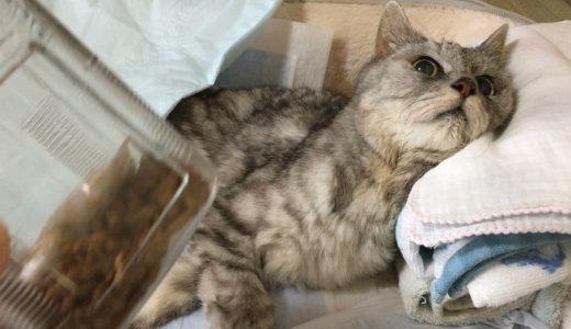 8日間うんち出ないさん!老猫の便秘再び|動画