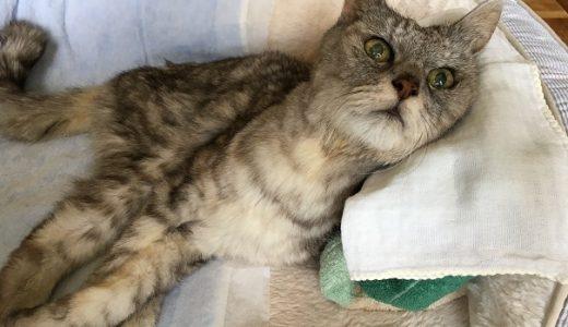 前回から1か月『発作らしきもの』が起きた老猫|動画
