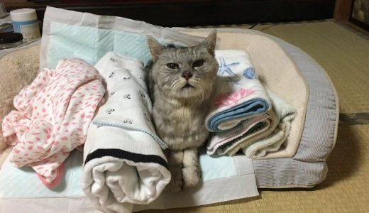 【老猫リハビリ】夜食後のスフィンクス座りをミルのソファでやってみた|動画