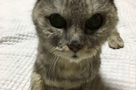【これって奇跡?!】脳炎の老猫が1人でスフィンクス座り出来た!|動画