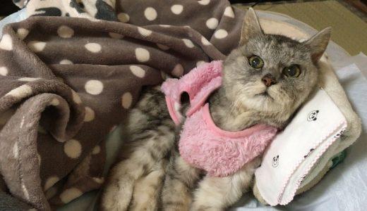 【老猫の冬服】くしゃみをするので服はじめました&動物病院で相談