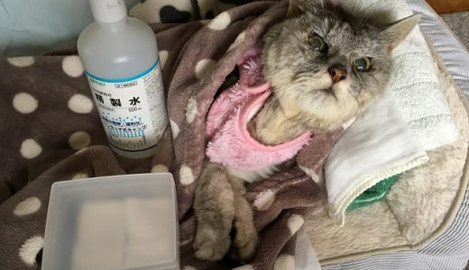 結膜炎で汚れちゃう老猫のお顔を綺麗にするっ
