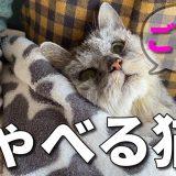 【喋る猫】ごはんとはっきり喋るようになった老猫