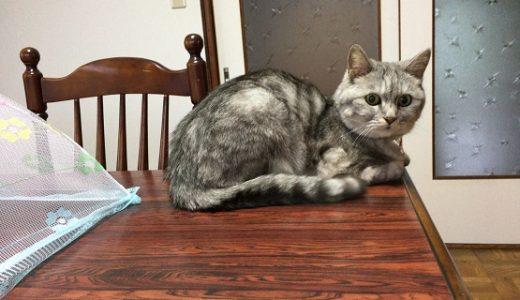 【蔵出し】ダイニングテーブルに乗ってガチで叱られる猫